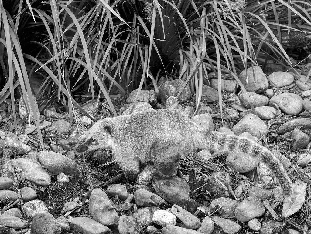 Brown-Nosed Coati