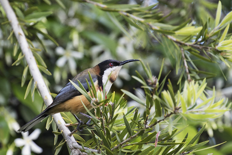 eastern_spinebill-31-weba
