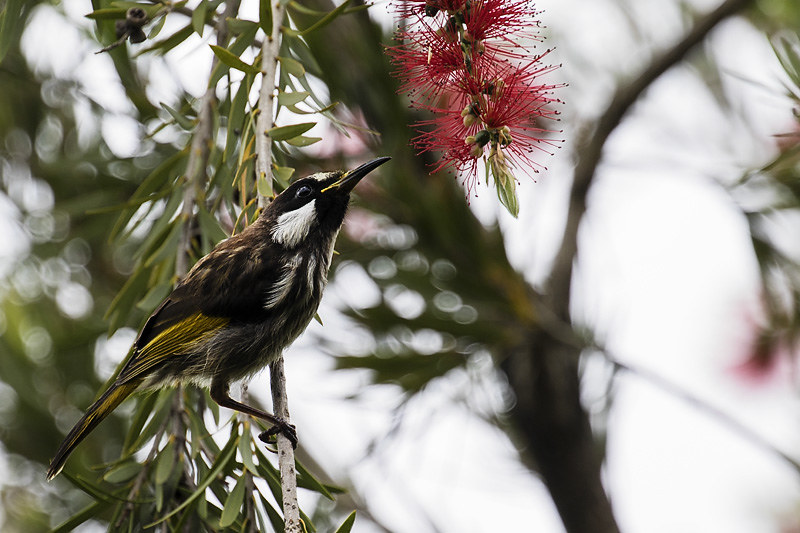 white_cheeked_honeyeater-3-weba