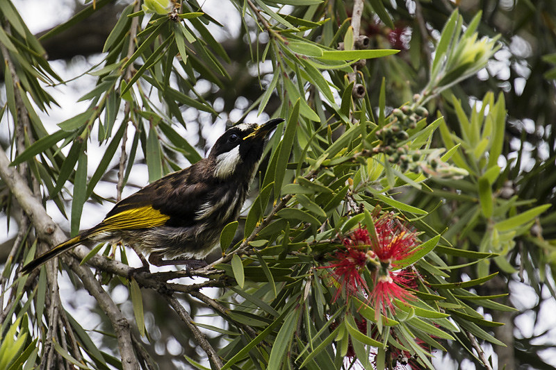 white_cheeked_honeyeater-4-weba