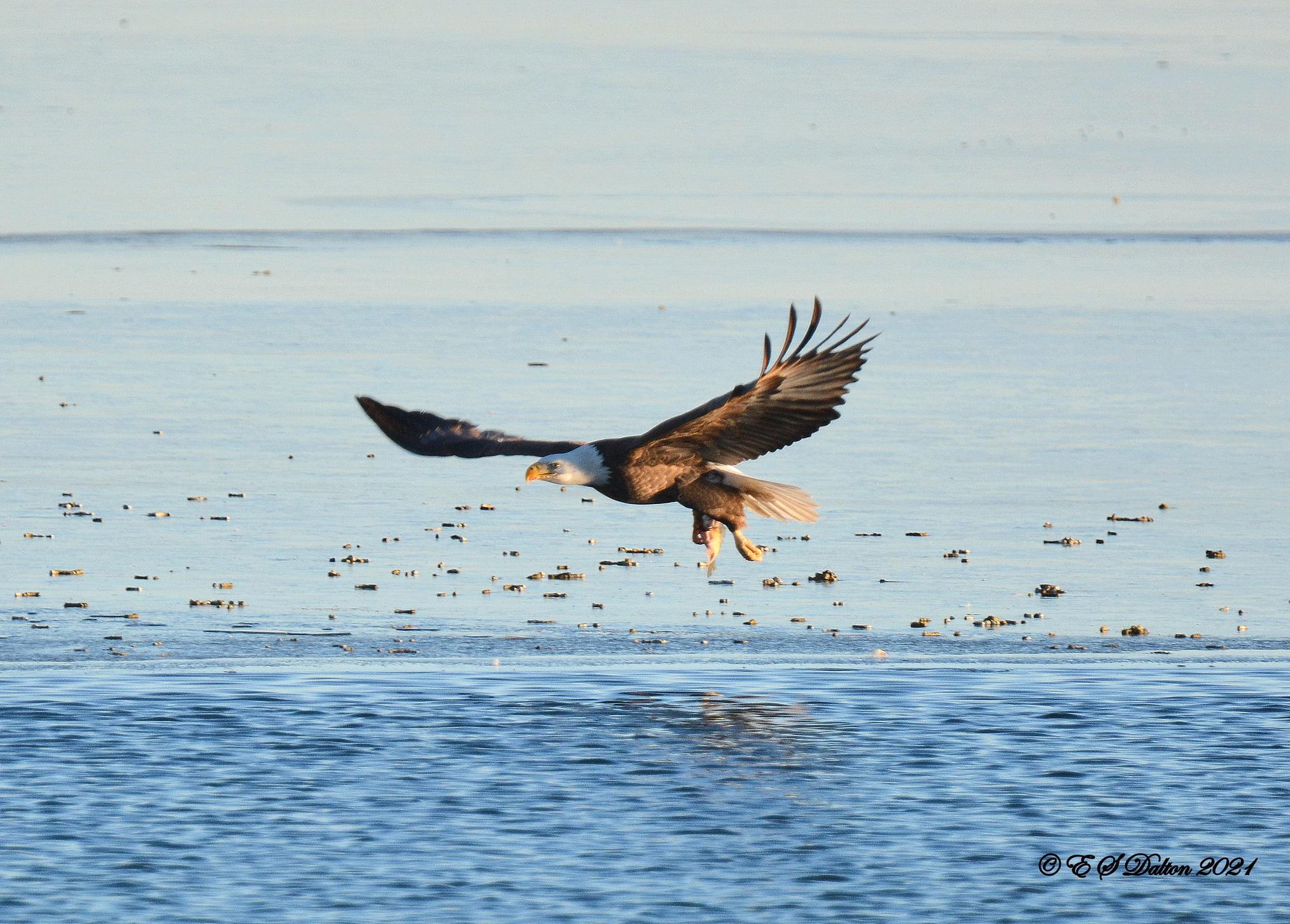 A bald eagle fishes a pond in Thornton. (Ed Dalton)
