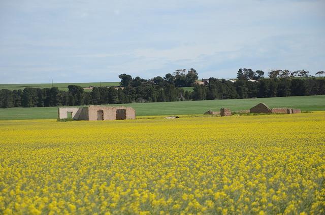 DSC_2082 farmhouse ruins in canola, 600m east Spencer Highway, Cunningham Road, Maitland, South Australia