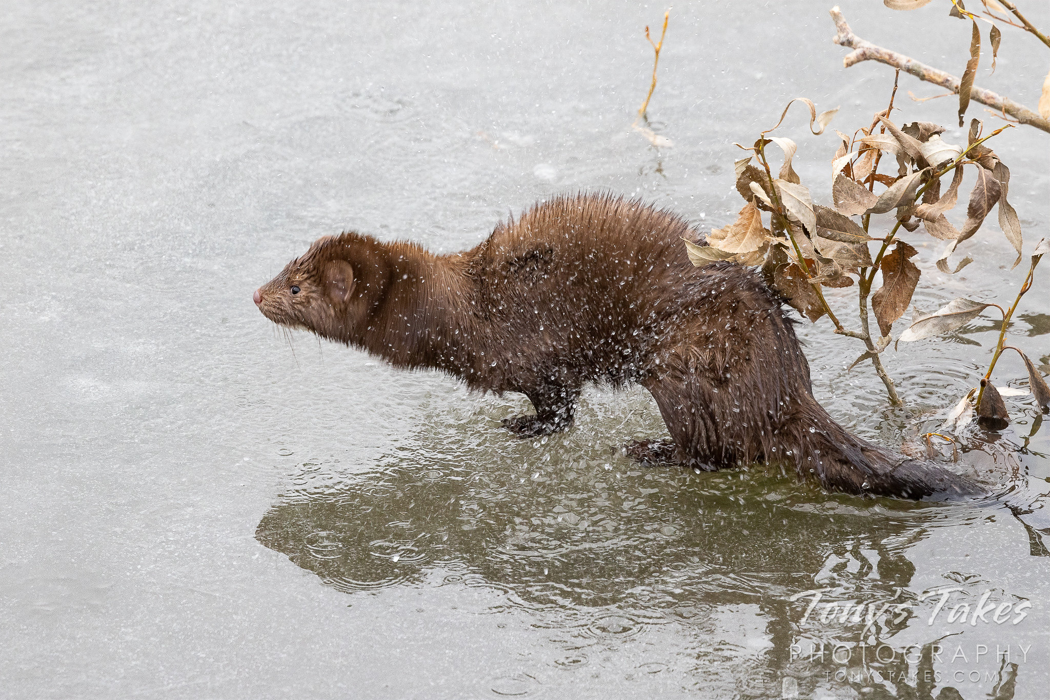 An American mink shakes off water after emerging from a creek. (Tony's Takes)