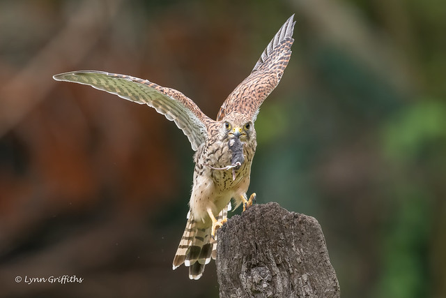 Kestrel - Female with lunch 850_1784.jpg