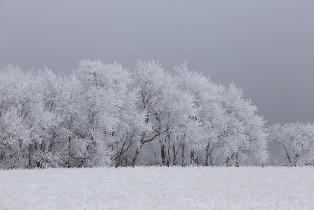 Rime ice on trees.