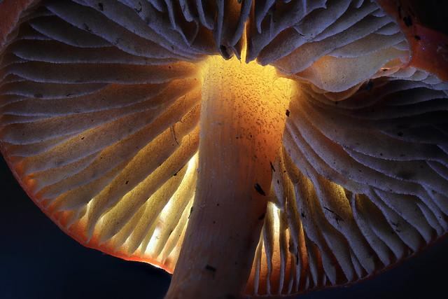 Mushroom Gills - 1