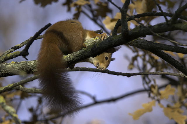 a Red Squirrel eating - large view