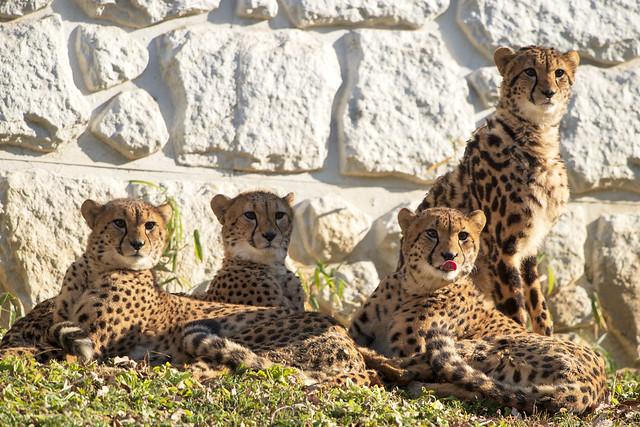 130110 140219 Young Cheetah Sibling 幼いチーターの兄弟