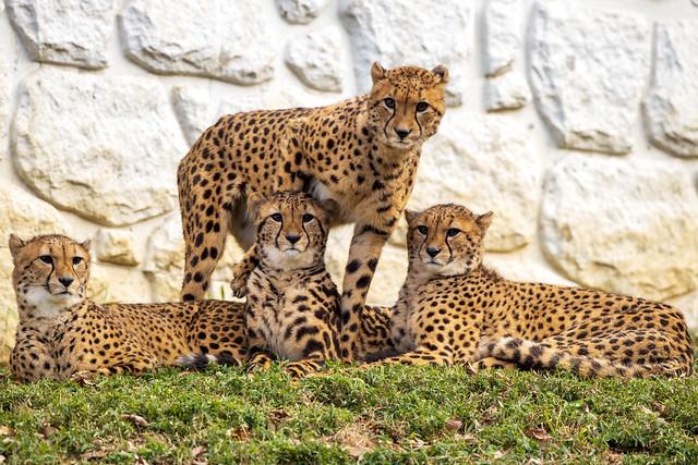 130110 144857- Young Cheetah Sibling 幼いチーターの兄弟