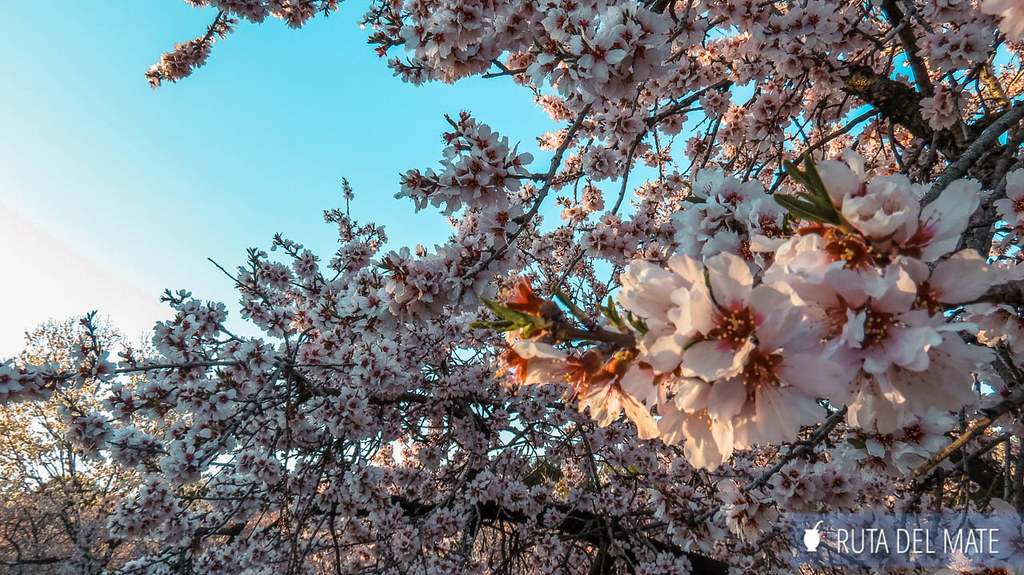 almendros en flor en Madrid