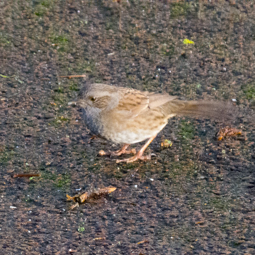 Dunnock hunting insects, West Park