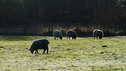 Frosty morning, sheep grazing, Northycote