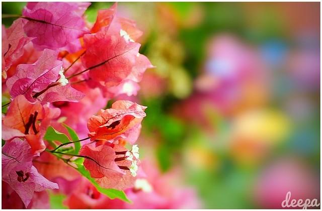 Bougainvillea flowers from my garden