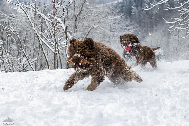 Lagotto Romagnolo Power❅