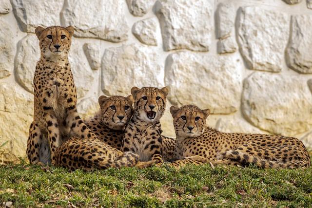 130110 145349- Young Cheetah Sibling 幼いチーターの兄弟