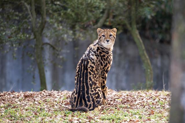 130110 144004- Rare King Cheetah 希少なキングチーター