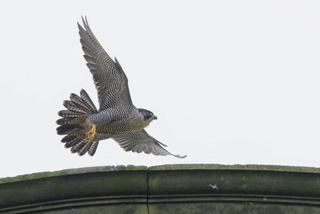 Peregrine Falcon,female