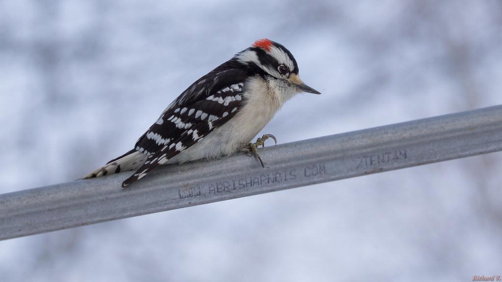 Pic mineur - Downy Woodpecker, Québec, Canada - 2300
