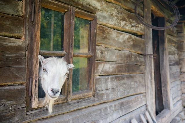 Goat from Mehedinți mountains. [Explored January 6, 2021]