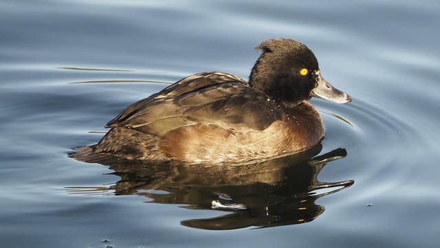 Tuffted Duck Female