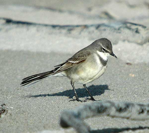 A Cape wagtail feeding on insects around the kelp washed up on the beach, Jacobs Bay, Western Province, South Africa.