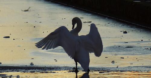 Ice Swan 02