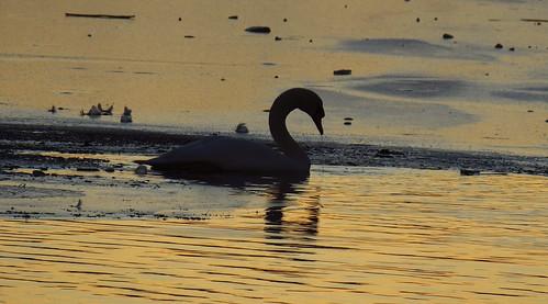 Ice Swan 01