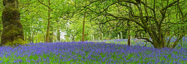 Bluebell Wood Dufton.