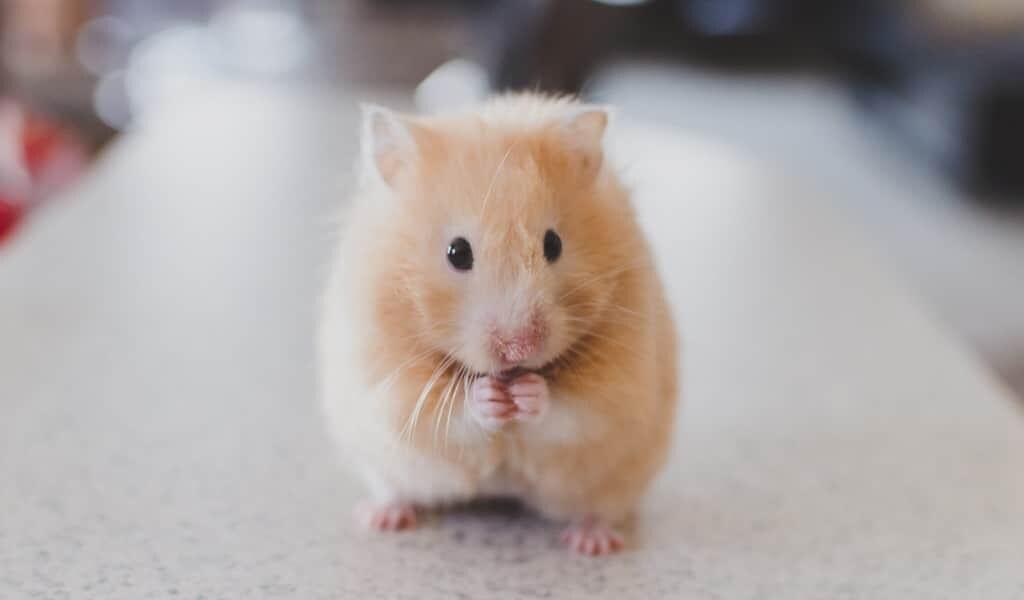 des-souris-ayant-la-progéria-vivent-plus-longtemps