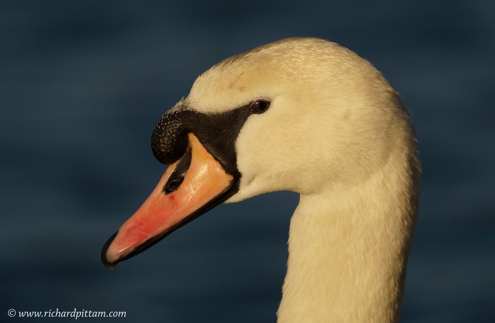 Mute Swan/s