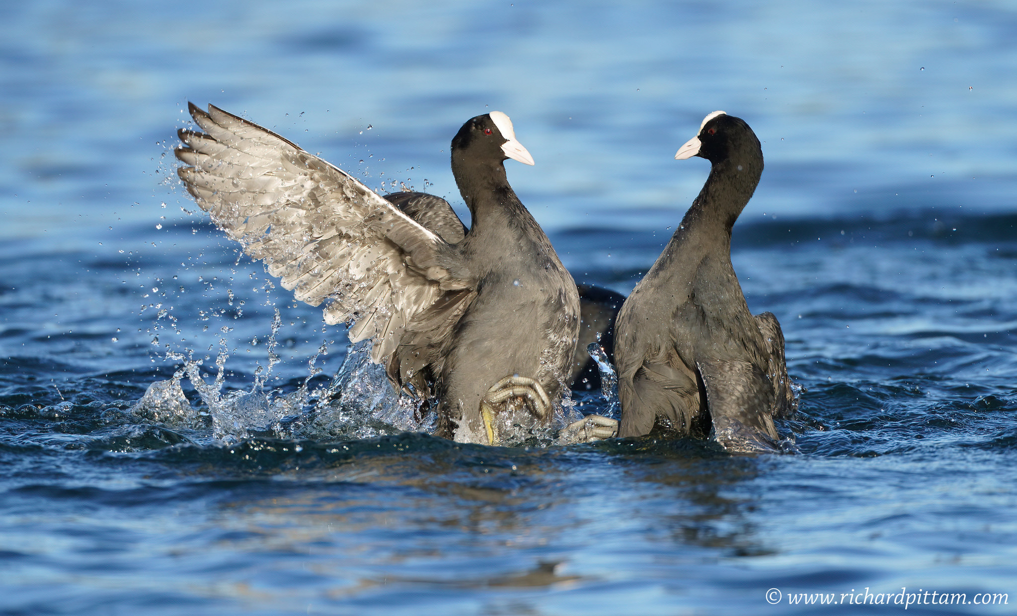 Everybody was Lockdown Fighting......Coot/s