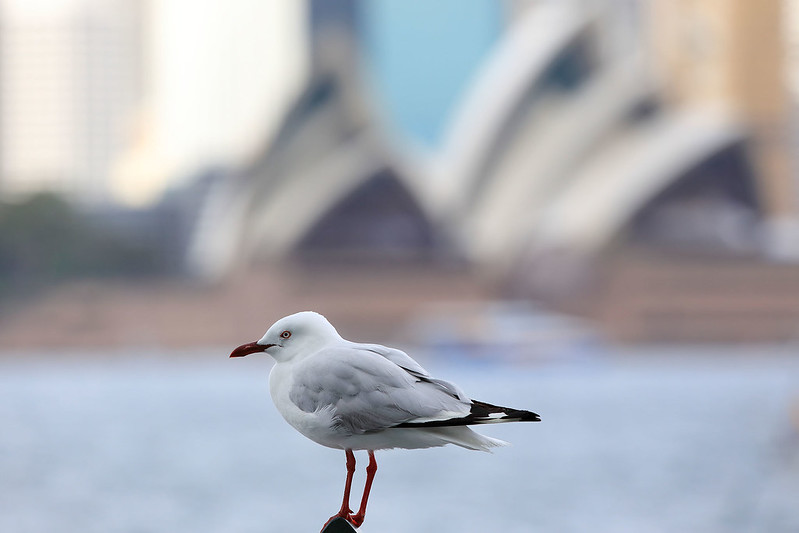Gull and Opera House