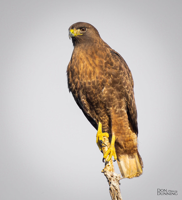 Dark-morph Red-tailed Hawk (Buteo jamaicensis calurus)