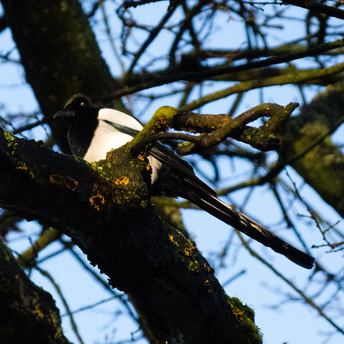 Magpie in the branches, West Park