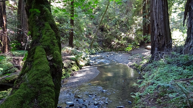 Redwood Creek at Main Trail at Muir Woods NM, CA