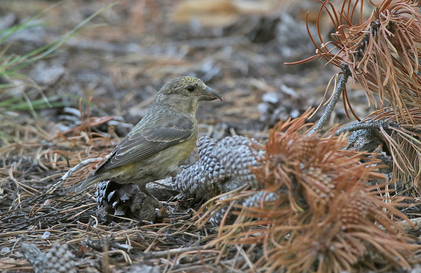 Cassia Crossbill on our 2020 Tour