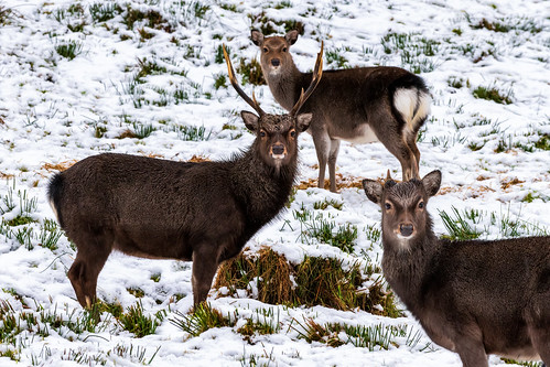 snowing sika japanese deer family herd buck antlers horns glen forest forestry park nikkon 70200mm tele lens wildlife stag doe landscape view county ireland irish xmas christmas 2021 countryside ulster history tyrone gortin national trust ni omagh nature gareth wray photography nikon landmark tourist tourism location visit sight site winter northern day photographer vacation holiday europe sky wild way mountainside trees snow d850 dslr