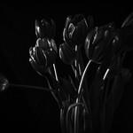 Tulips - still life