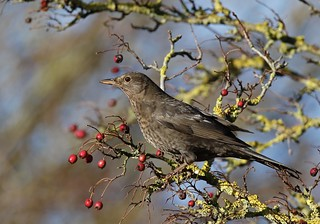 Blackbird - Turdus merula | by Chris B@rlow