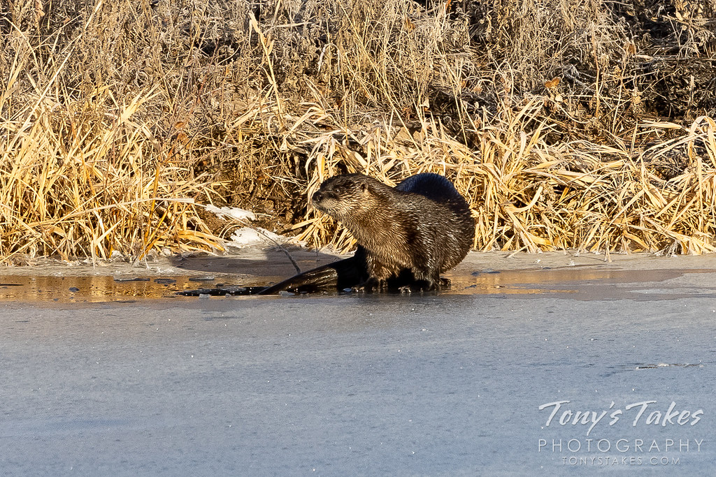 Rare river otter makes a New Year's appearance