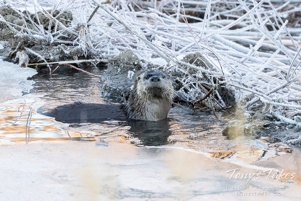 A river otter hangs out on a frozen pond in Colorado. (© Tony's Takes)