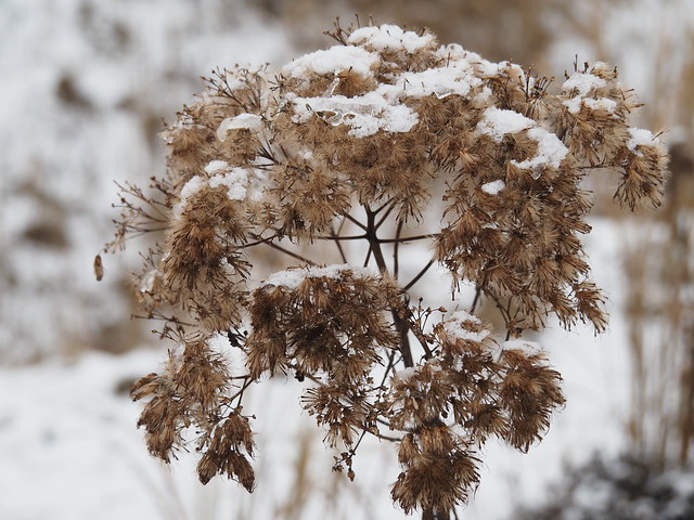 Eupatorium maculatum 'Riesenschirm'