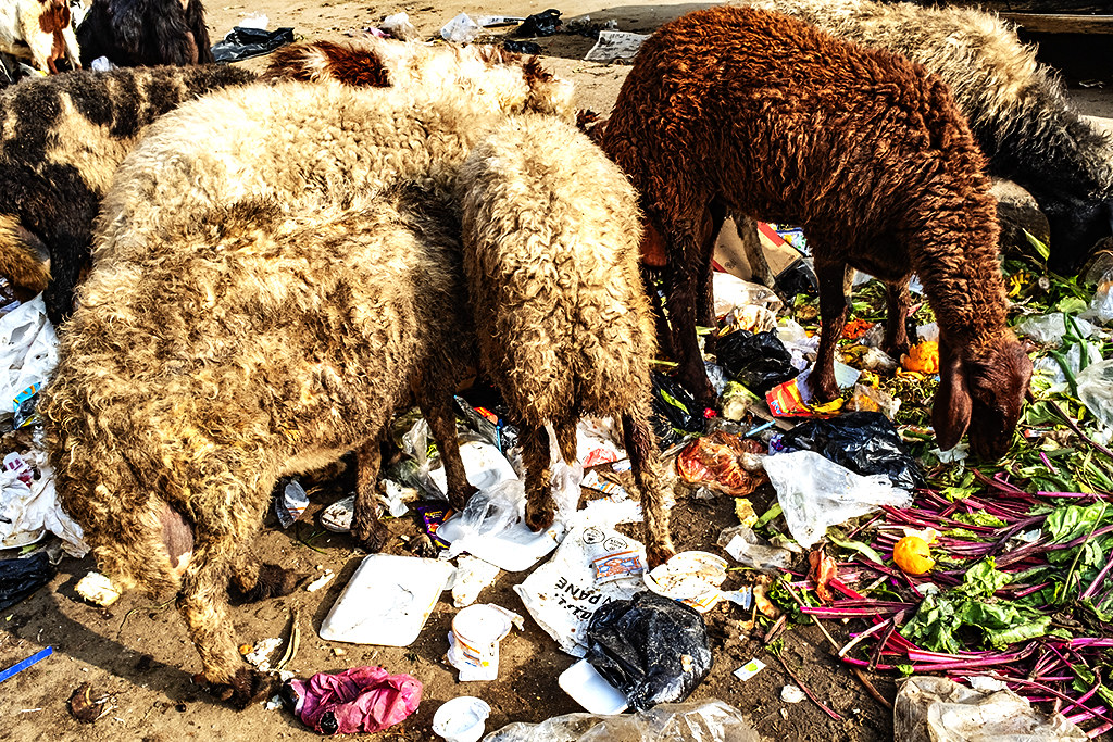 Sheep among garbage on 1-7-21--Giza