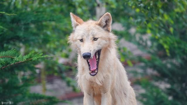 Wolf - 9275
