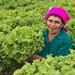 Cultivando lechugas en hidroponía en Honduras