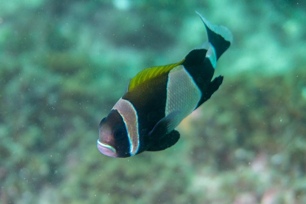 Wide-Band Anemonefish