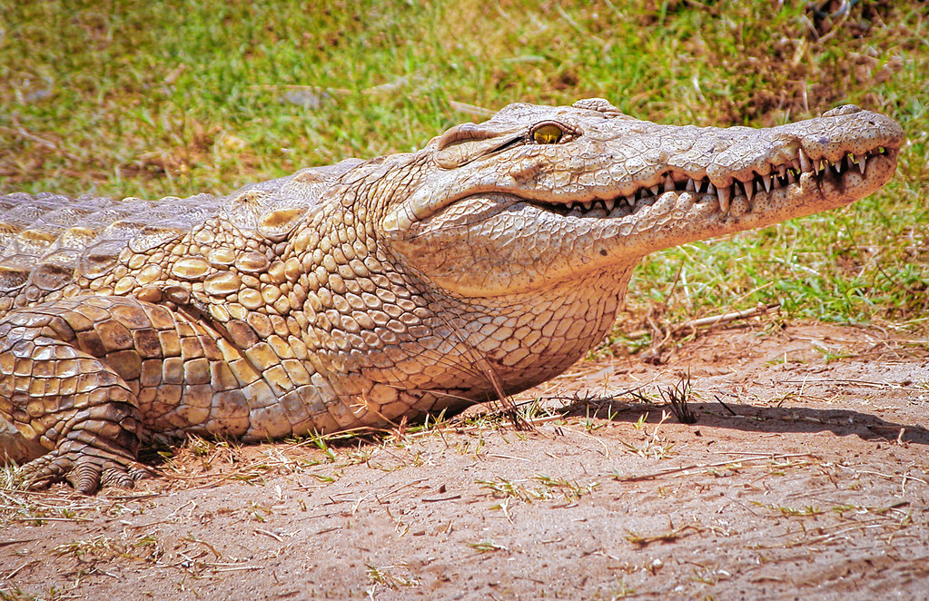 Le sourire du crocodile... 50810932131_47b341b851_b