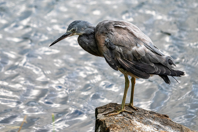 NZ Pacific Reef Heron
