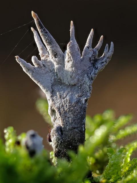 Ein Kugelspringer (Dicyrtoma fusca) erklimmt eine Geweihförmige Holzkeule (Xylaria hypoxylon)
