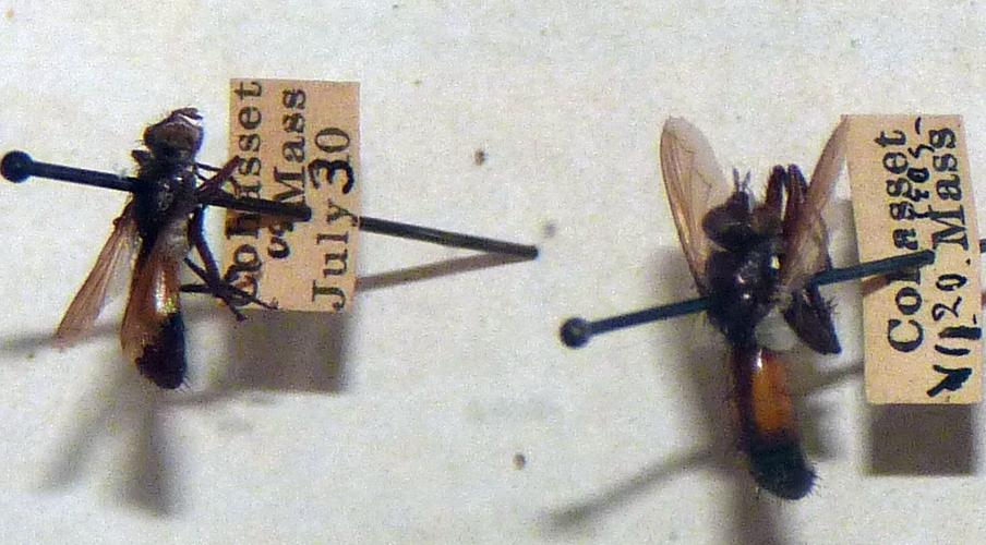 Cylindromyia carolinae 50811267856_d95d2febef_o